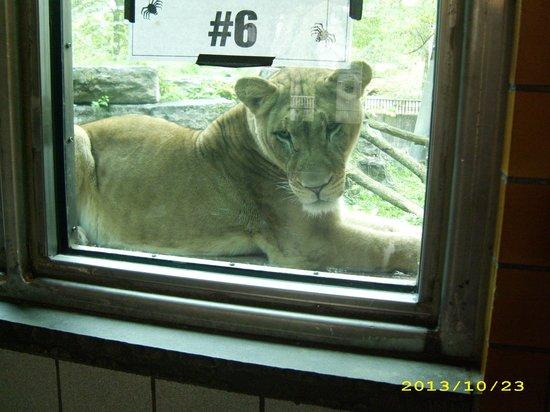 The Buffalo Zoo: Lion
