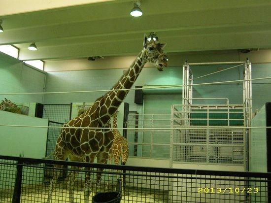 The Buffalo Zoo: Giraffe