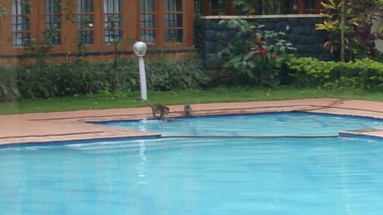 Aranya Nivas KTDC : monkeys too swim in the hotel's swimming pool