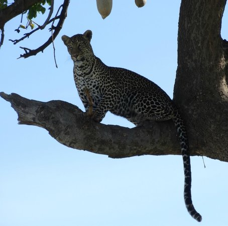 Go Kenya Tours and Safaris: Leopard - The one we were searching for and found on the last day of our safari