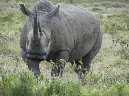 Go Kenya Tours and Safaris: Black Rhino