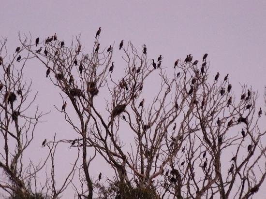 Inn at Morro Bay: cormorant rookerie