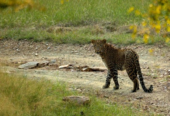 Pashan Garh : Leopard on safari drive