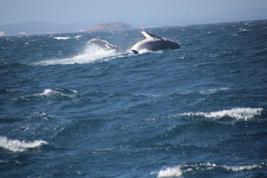 Colourful Trips - Day Tours: Whale calf jumping out of the water , i reckon not very old