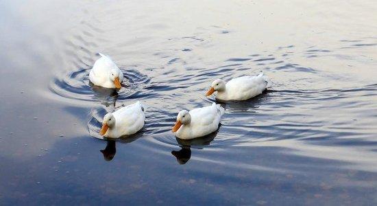 Loch Insh Watersports: ducks