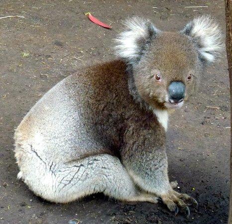 Kangaroo Island Wildlife Park: Koala