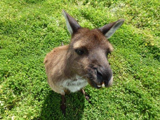 Kangaroo Island Wildlife Park: Kangaroo in need of orthodontic work :)
