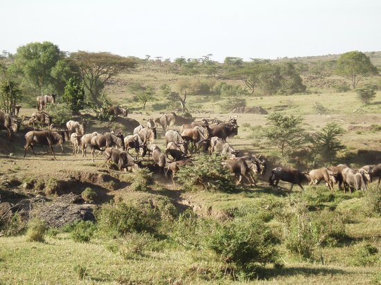 Royal Mara Safari Lodge : Wilder Beast Migration