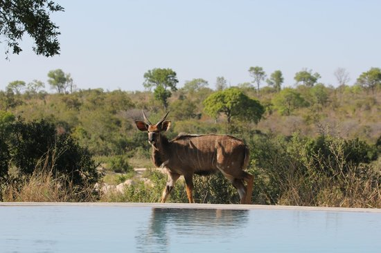 Singita Boulders Lodge: Game Drive from the Infiniti Pool