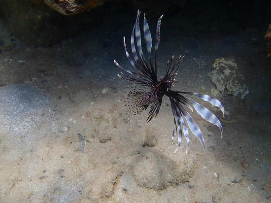 Ti Kaye Resort & Spa: Many lionfish--pretty to look at, but a harmful species :(
