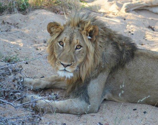 Shiduli Private Game Lodge : Male Lion