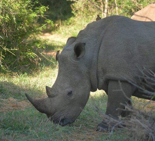 Shiduli Private Game Lodge : White Rhino