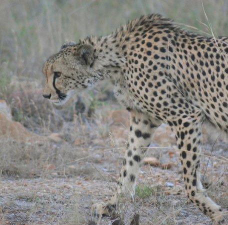 Shiduli Private Game Lodge : Female Cheetah