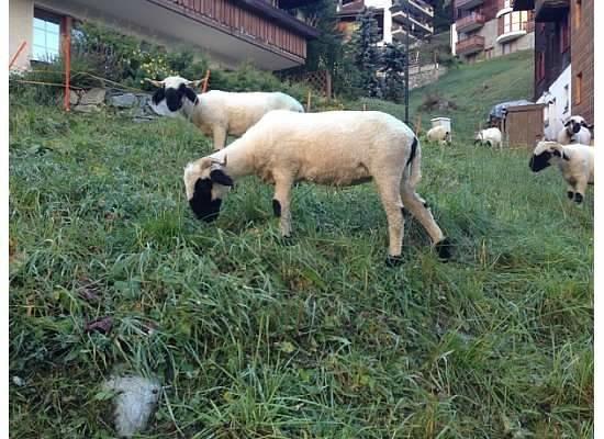 Bella Vista Hotel: Sheep