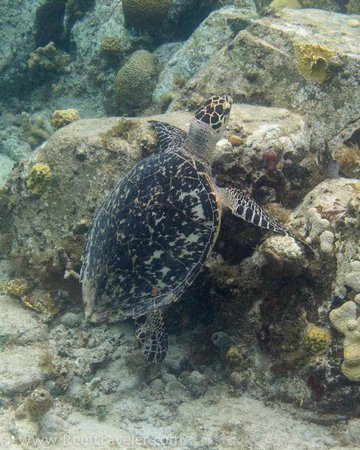 Gallows Point Resort: Turtle on Gallows Reef