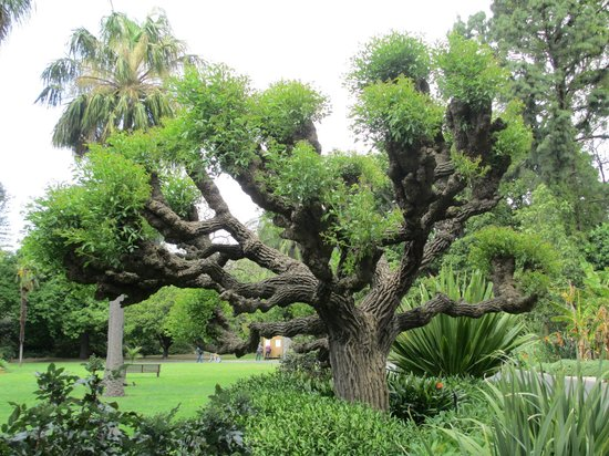 Royal Botanic Gardens Melbourne : One of the interesting trees there