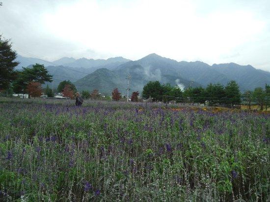 Azumino Chihiro Art Museum : 公園の風景ブルーサルビア