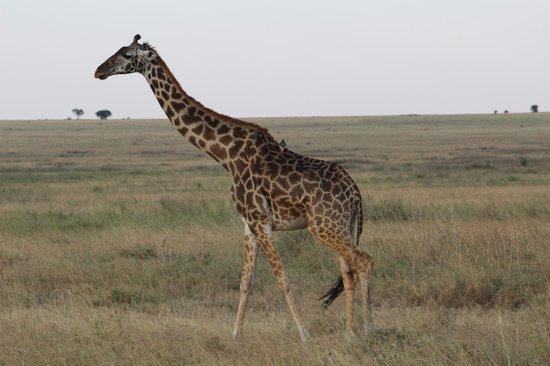 Bright African Safaris: Giraffe