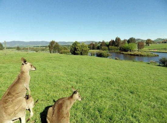 Mansfield Zoo: Kangaroos grazing.