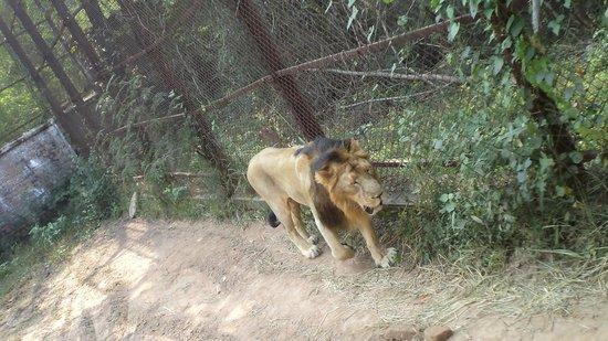 Panchkula, India: Lion Safari