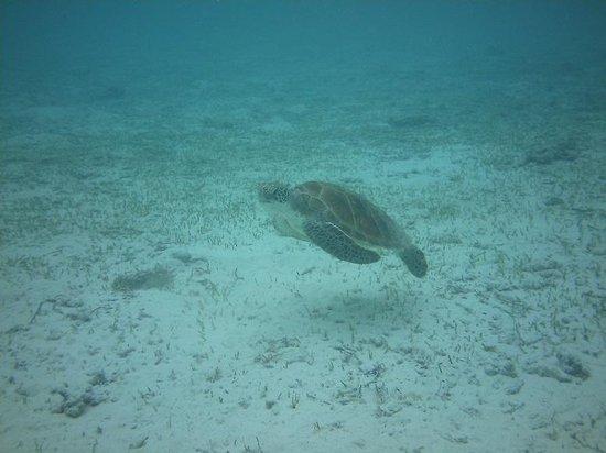 Embudu Village: Swimming with turtles