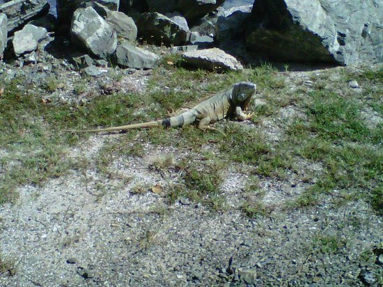 Tamarind Reef Resort, Spa & Marina: iguana about 4 feet long