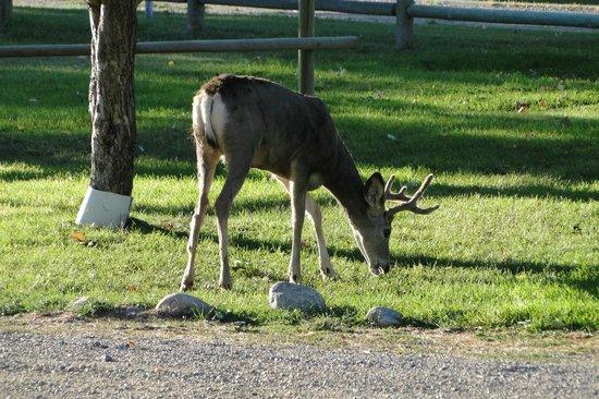 Riverside Motel & Cabins RV Park: deer in garden