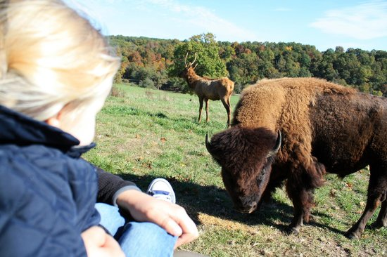 Lampe, MO: Up close and personal with Elvis the Bison