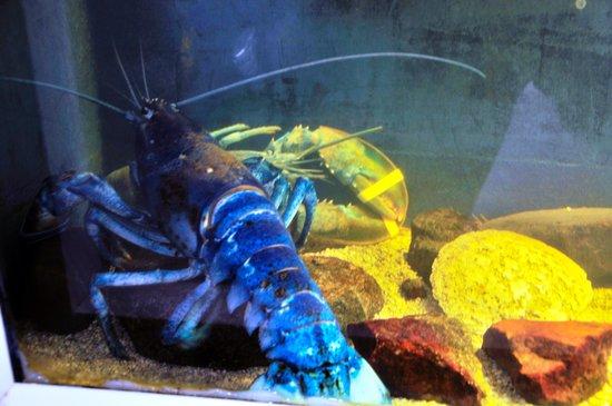 Mount Desert Island Oceanarium: Blue Lobster