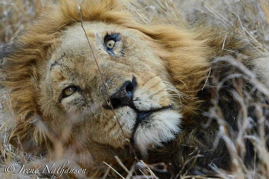 Londolozi Founders Camp: One of four male lions in the area