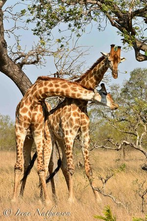 Londolozi Founders Camp: Giraffes necking