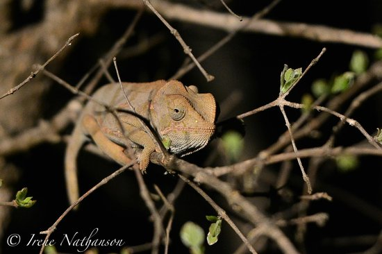Londolozi Founders Camp : Amazing tracker spotted this on night drive