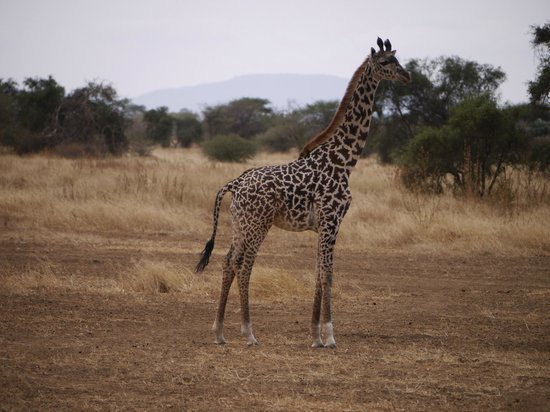 Selenkay Conservancy : Inquisitive baby giraffe