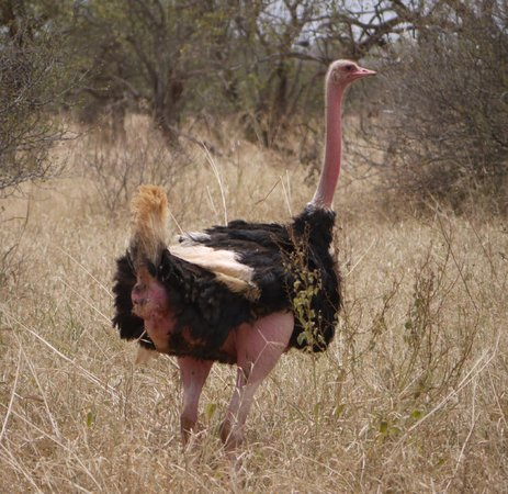 Selenkay Conservancy : Male ostrich