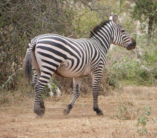 Selenkay Conservancy: Burchells zebra