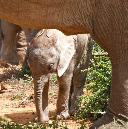 Earthstompers Adventures: 8 day old baby elephant