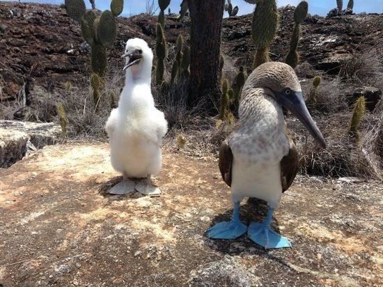 CarpeDM Adventures - Day Tours: Blue footed boobies in Isabella Island, Galapagos