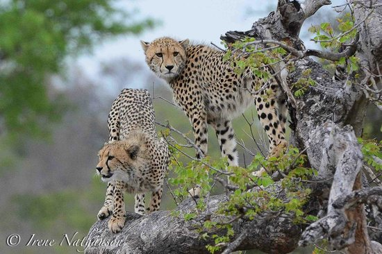 Londolozi Varty Camp : two of the three cheetah