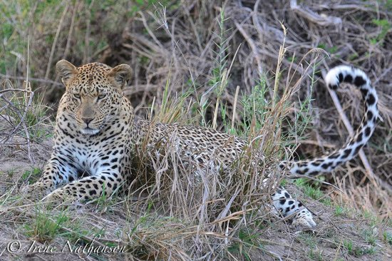 Londolozi Varty Camp : one of the 8 leopards