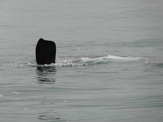 Hermanus Whale Cruises: Finde