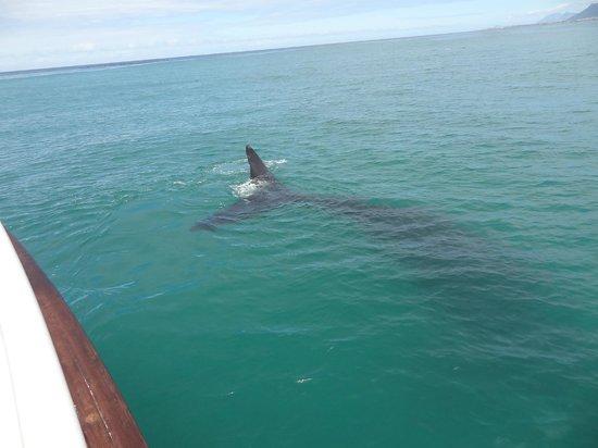 Hermanus Whale Cruises: Sydlig Rethval
