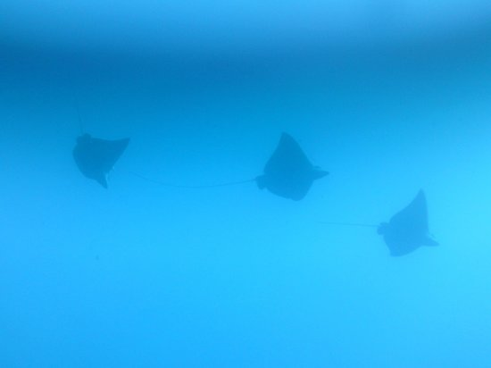 Turneffe Flats: 3 EAGLE RAYS