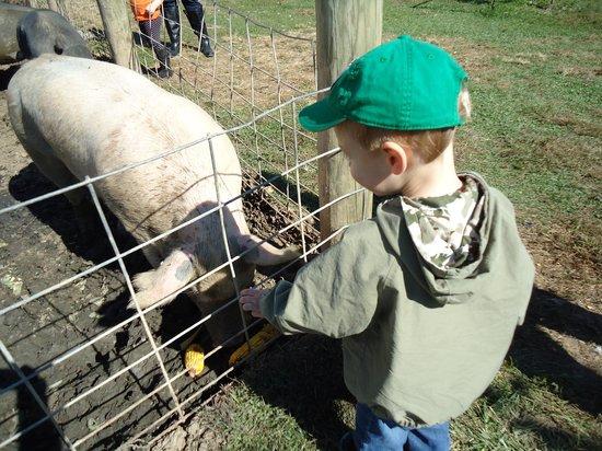Milburn Orchards: pig