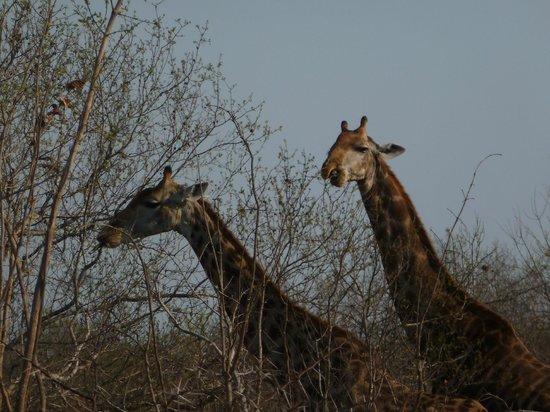 Cheetah Plains : Our final animal sighting