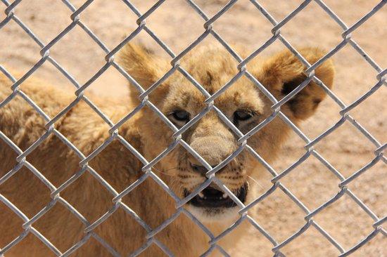 Lion habitat photo de lion habitat ranch henderson tripadvisor