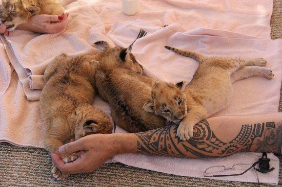Old cubs picture of lion habitat ranch henderson tripadvisor