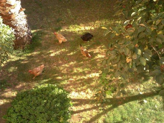 Akdeniz Beach Hotel : chickens