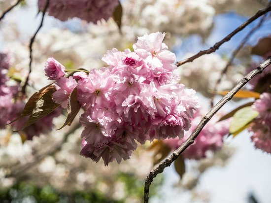 Queenstown gardens in Spring