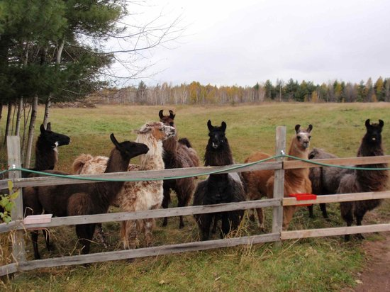 Storybook Farm Llama Trekking B&B: Some of the llamas