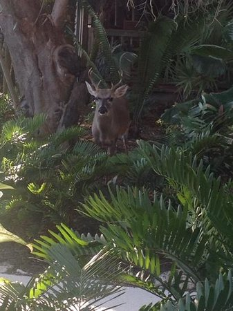 Little Palm Island Resort & Spa, A Noble House Resort : A small buck near the pool